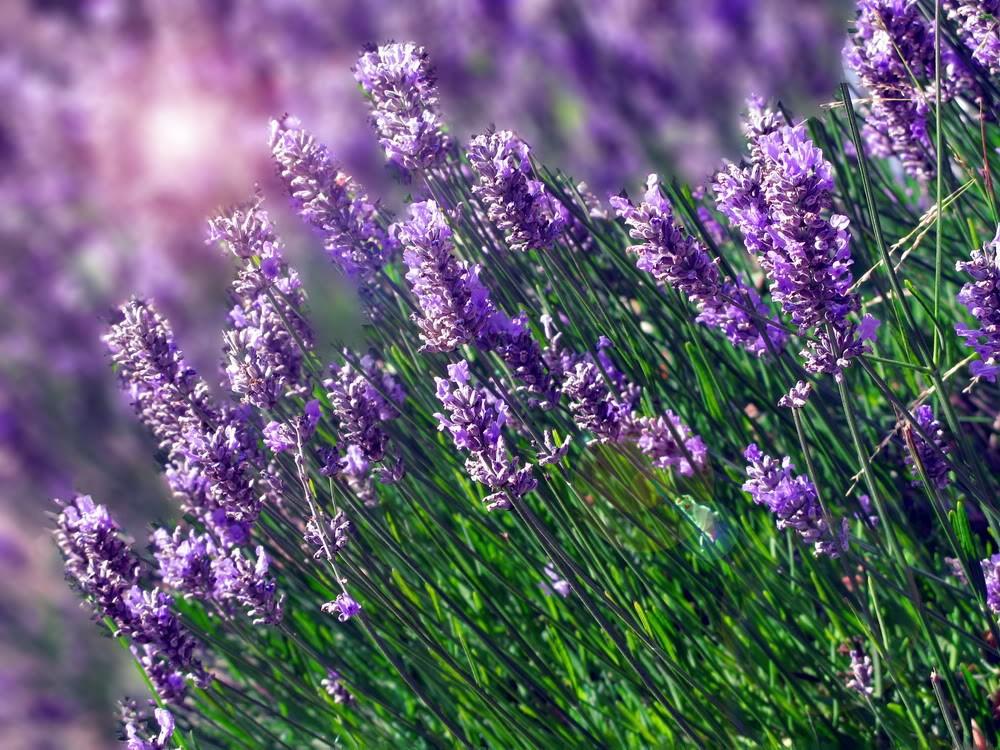 cánh đồng hoa oải hương ở Đà Lạt-3