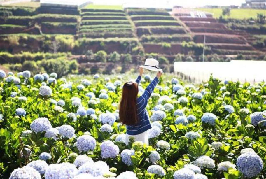 vườn hoa cẩm tú cầu huyện lạc duong đà lạt