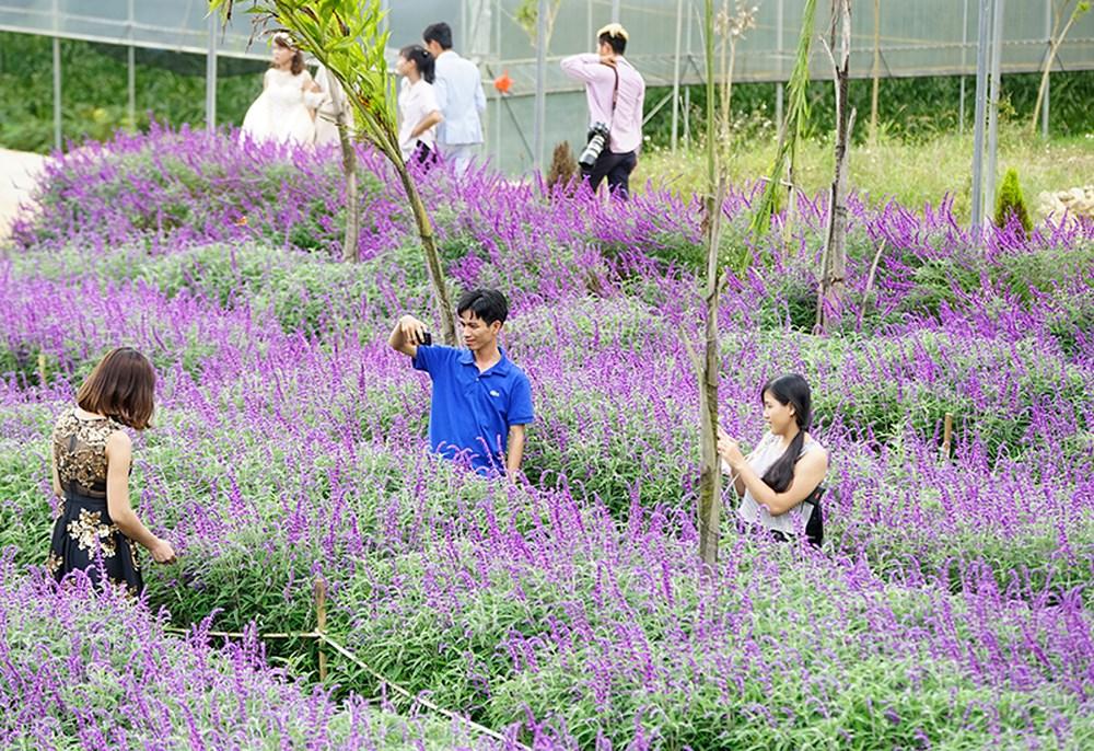 Cánh đồng hoa Lavender được nhiều du khách quan tâm