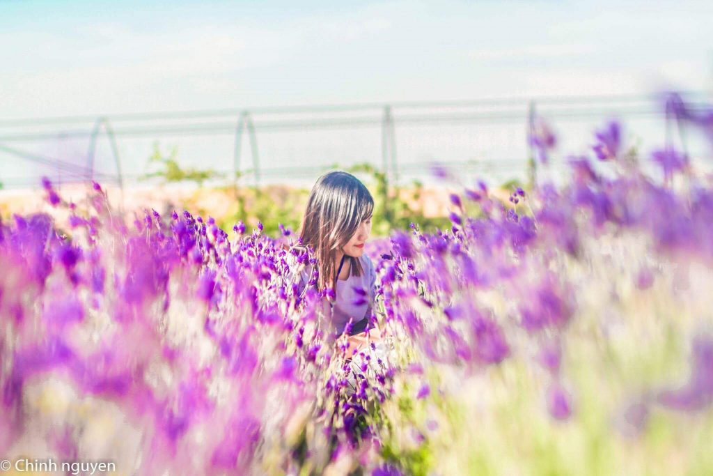 Hoa Lavender được trồng và chăm sóc kĩ càng