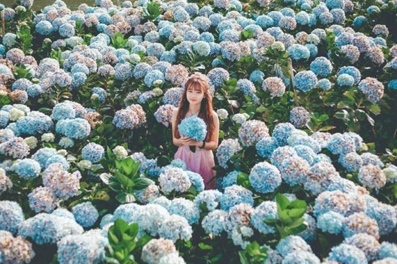 hoa cẩm tú cầu nở vào mùa nào