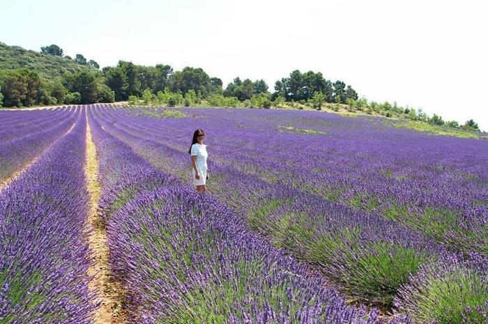cánh đồng hoa oải hương ở đà lạt ở đâu