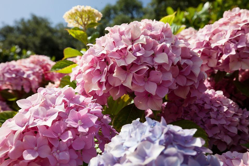 hoa cẩm tú cầu có nhiều màu sắc khác nhau