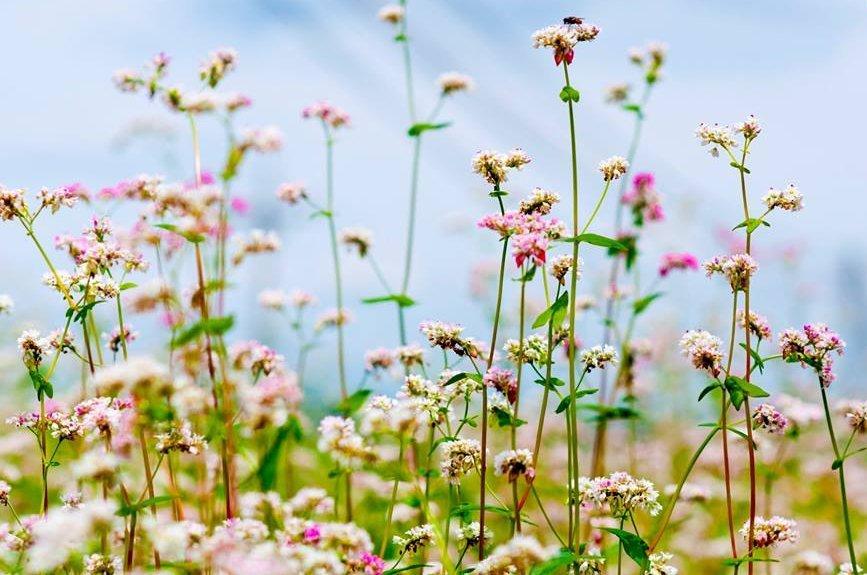 tháng 8 mùa hoa tam giác mạch