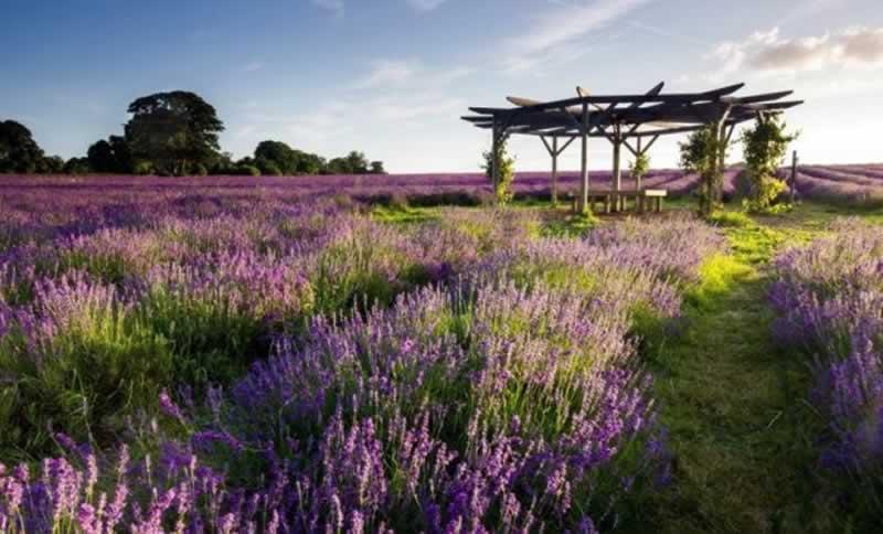 vườn hoa lavender vạn thành
