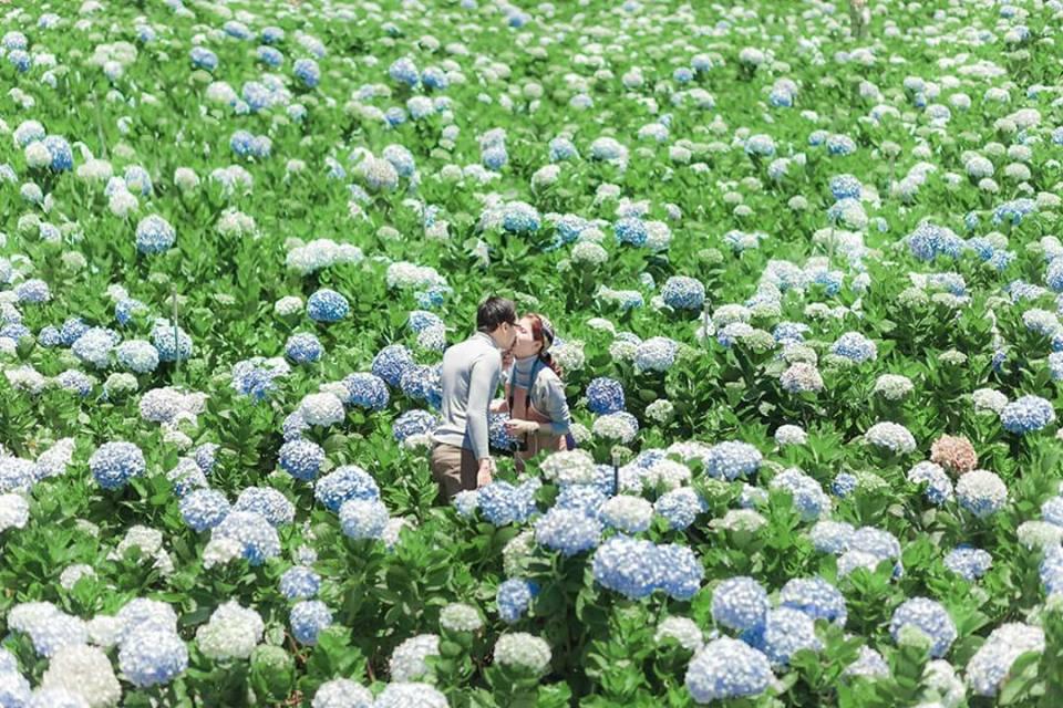 vườn hoa cẩm tú cầu đà lạt ở đâu
