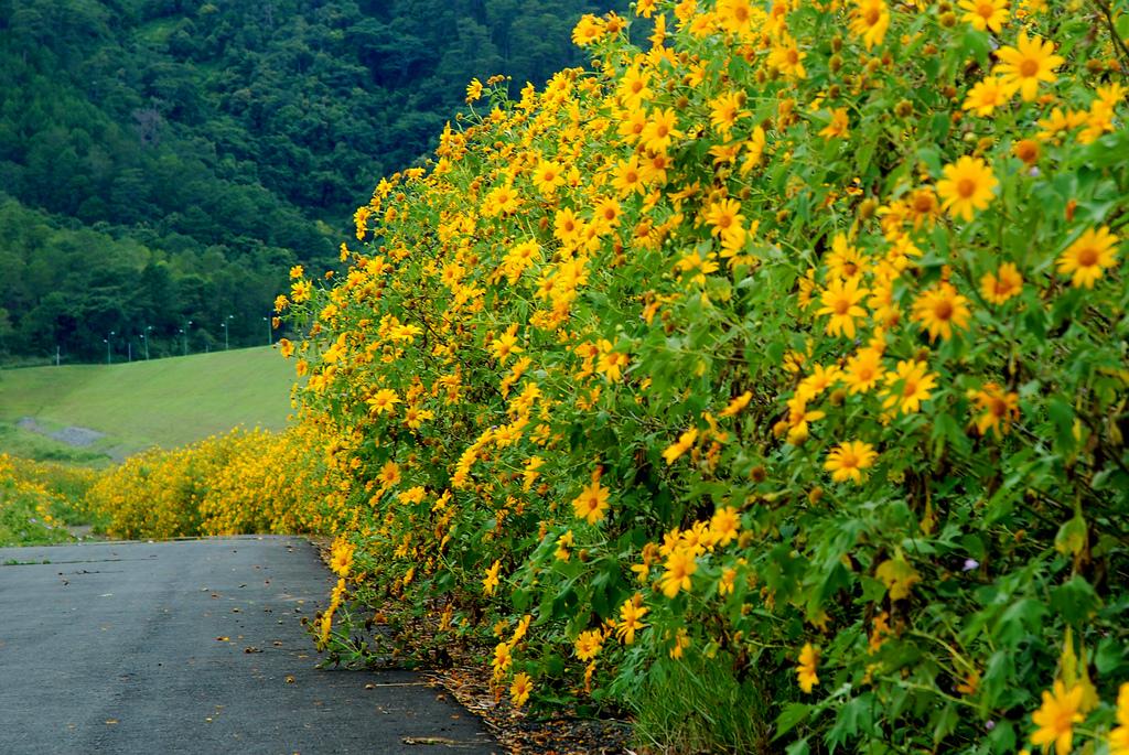 Cung đường ngập tràn sắc hoa dã quỳ