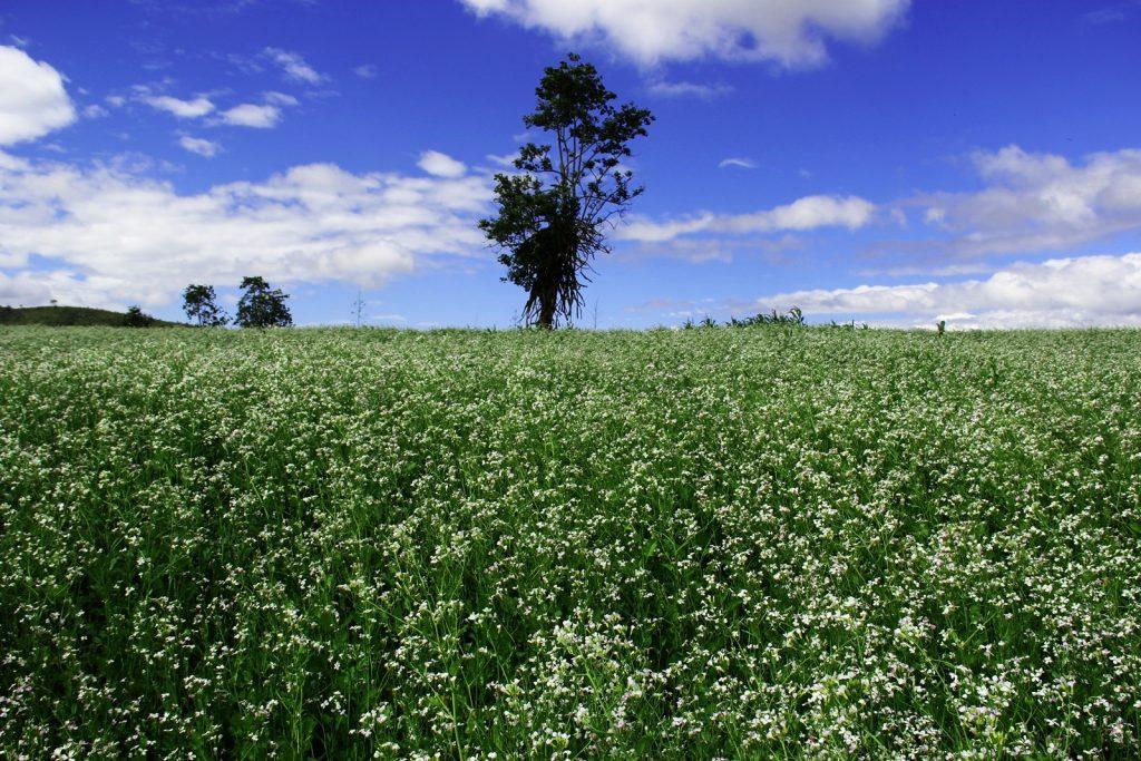 cánh đồng cải trắng vào tháng 12 tại Đà Lạt