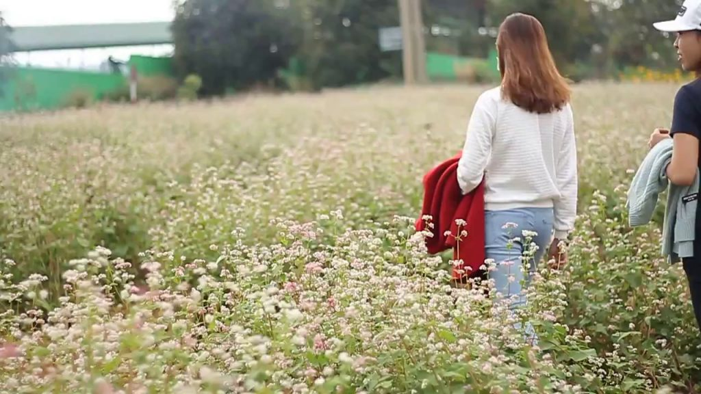 cánh đồng hoa tam giác mạch Đà Lạt