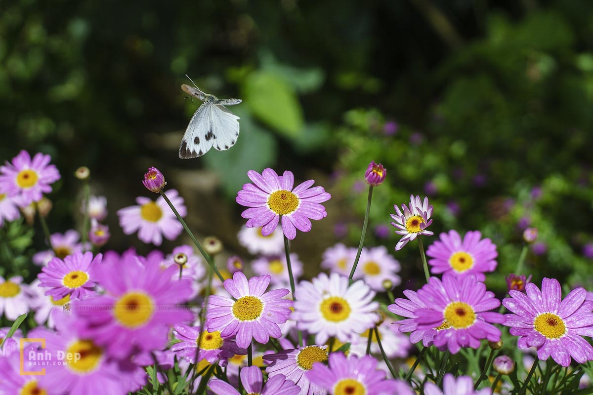 Nhẹ nhàng hoa cánh bướm Đà Lạt